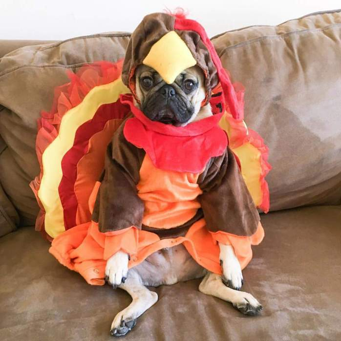 turkey-pug